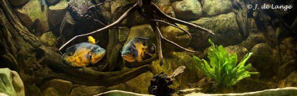 Astronotus ocellatus - Aquarium