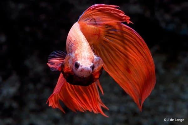 Betta splendens - Rode man