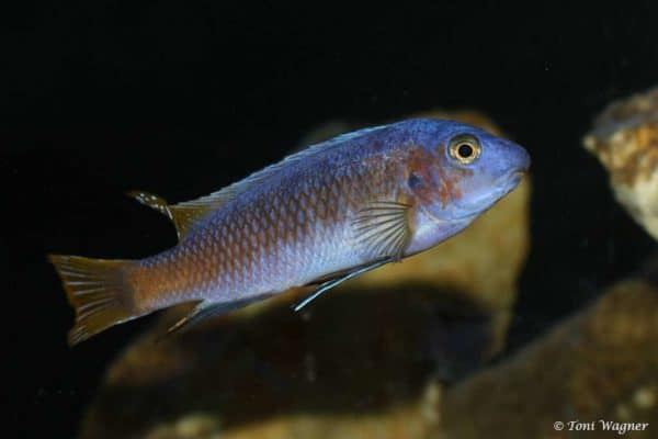 Labeotropheus trewavasae - Nkhata Bay