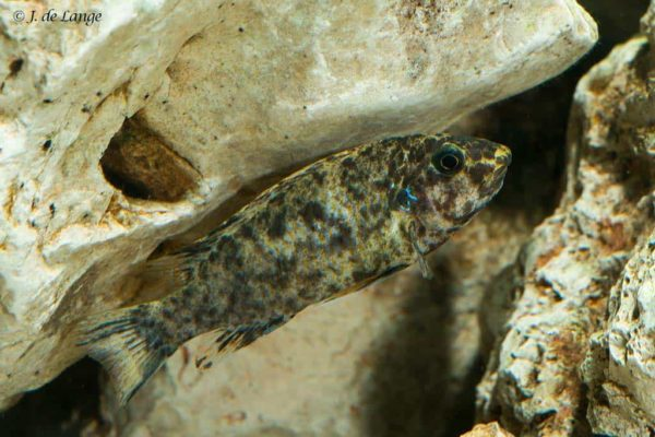 Labeotropheus trewavasae - Female Blotched