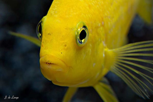 Labidochromis caeruleus - Yellow - Close up van de kop