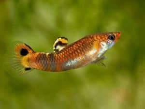 Micropoecilia picta