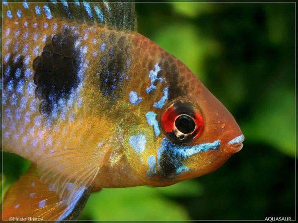 Mikrogeophagus ramirezi - Close up