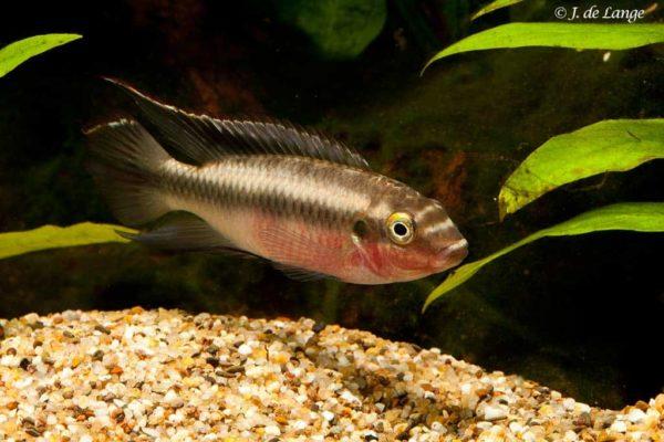 Pelvicachromis pulcher - Kersenbuik Cichlide - Man