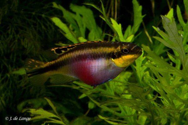 Pelvicachromis pulcher - Kersenbuik Cichlide - Vrouw