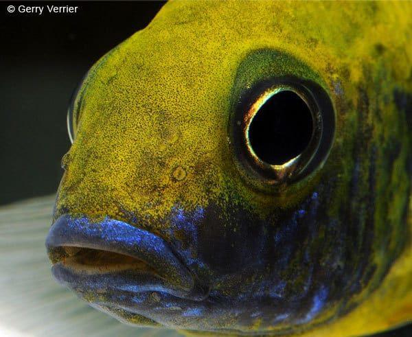 Aulonocara baenschi - Close Up kop van een man