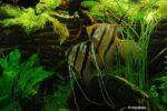 Pterophyllum scalare - Maanvissen