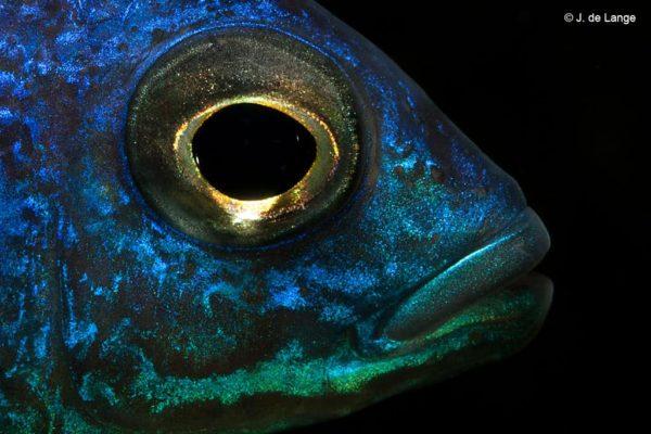 Copadichromis azureus - Close up van het oog