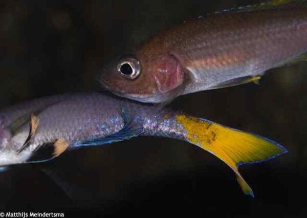 Cyprichromis leptosoma - Blue Flash Isanga - Tijdens het paren