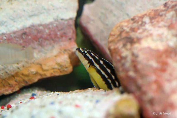 Julidochromis ornatus - Yellow