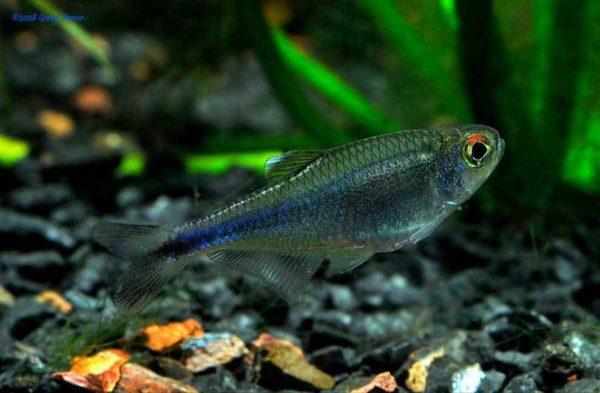 Boehlkea fredcochui – Blauwe Tetra