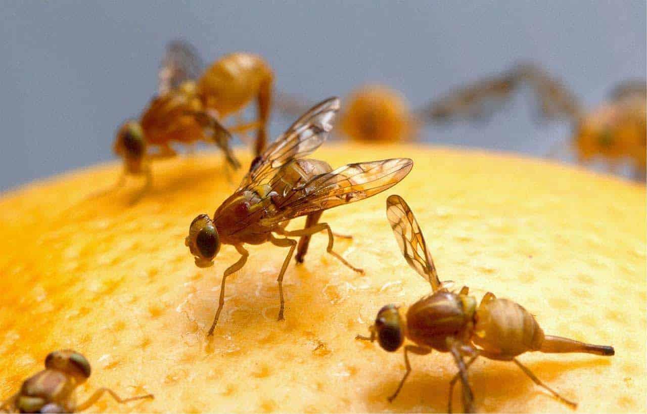 Fruitvliegen kweken