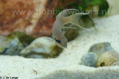 Neolamprologus brichardi - Prinses van Burundi