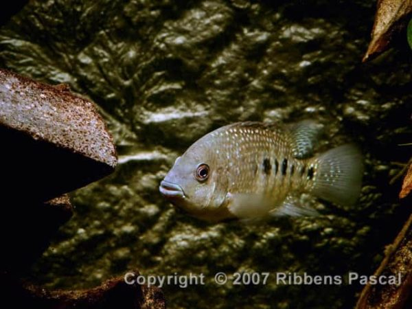 Herichthys tamasopoensis