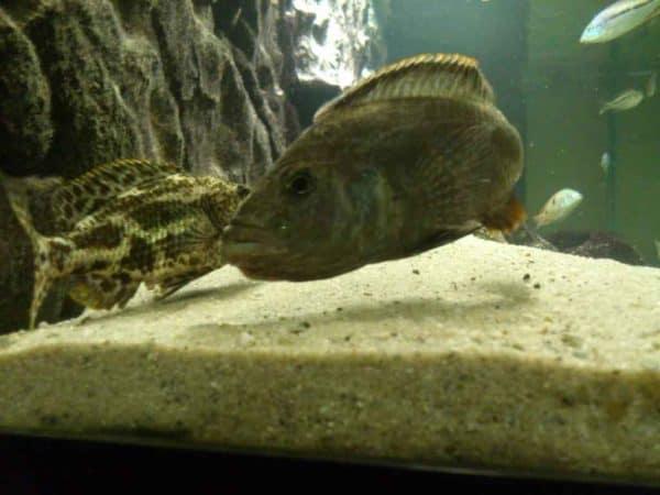 Nimbochromis polystigma - Tijdens de paringsdans