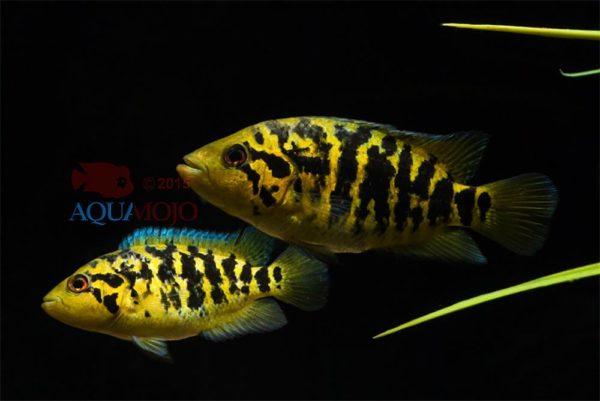 Parachromis friedrichsthalii - Escondido - Juveniel