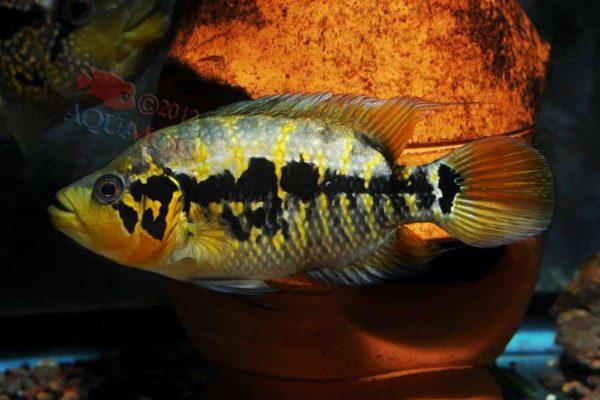 Parachromis friedrichsthalii - Vrouw - Rio Danto