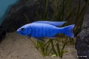 Sciaenochromis
