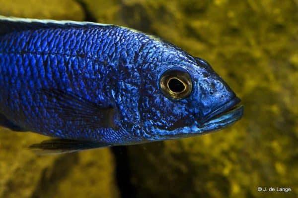 Sciaenochromis fryeri - Close up