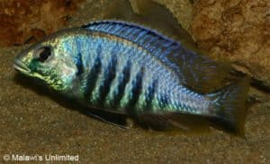 Placidochromis jalo - Man