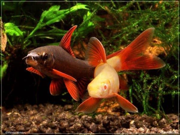 Epalzeorhynchos frenatus