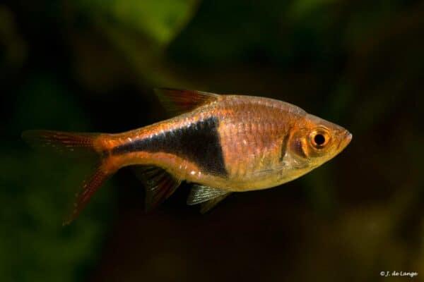 Trigonostigma heteromorpha - Kegelvlek Barbeel