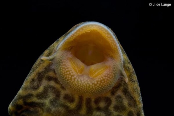 Hypostomus plecostomus - Close up bek
