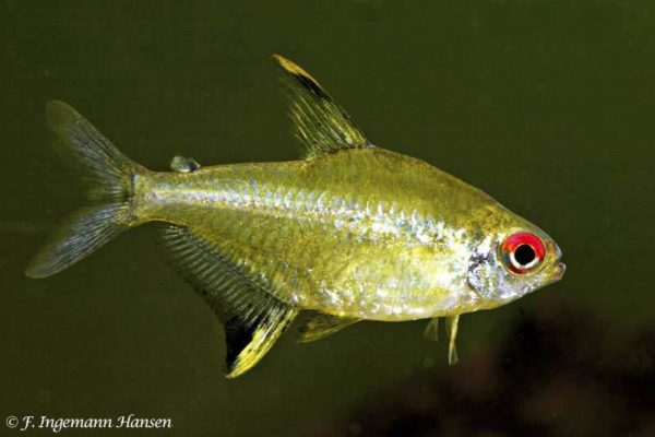 Hyphessobrycon pulchripinnis - Citroen Tetra