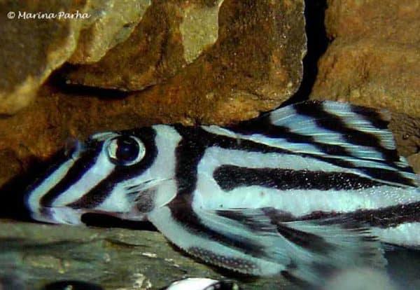 Hypancistrus zebra - L046