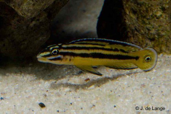 Julidochromis regani - Kerenge