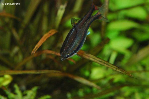 Nannostomus beckfordi - Potloodvisje - Mannen