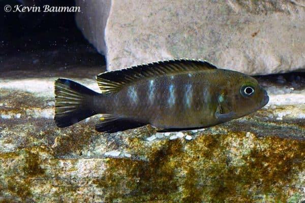 Pseudotropheus elongatus - Chewere - Vrouw