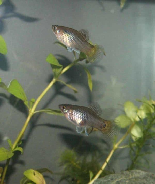 Xiphophorus maculatus - Platy - Plaatje