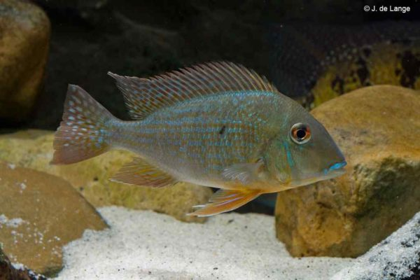 Geophagus altifrons - Rio Negro - Vrouw
