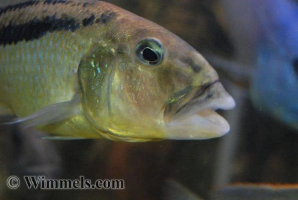 Aristochromis christyi - Close Up kop