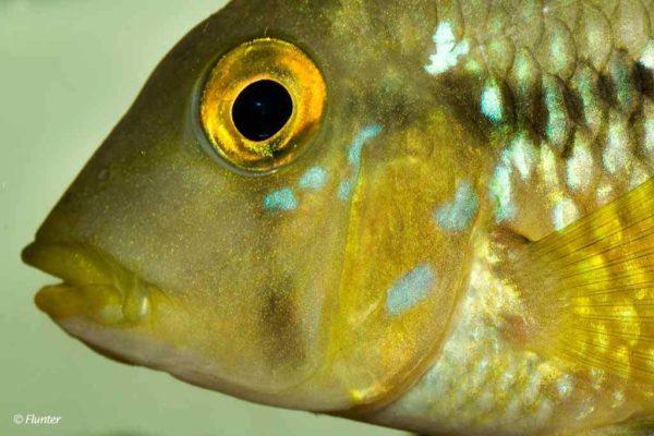 Geophagus brasiliensis - Close up
