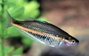 Glossolepis ramuensis