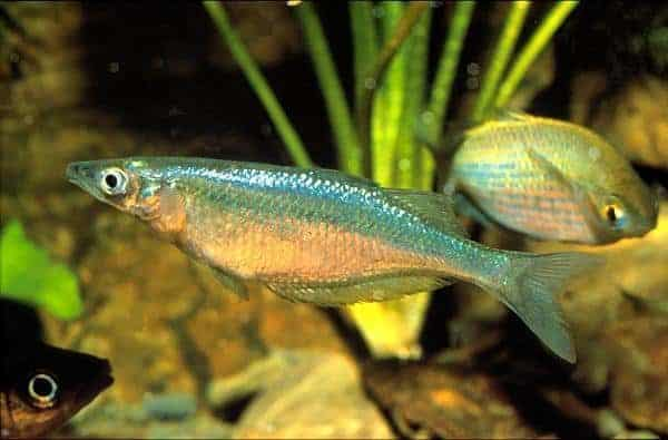 Chilatherina crassispinosa