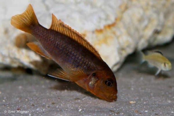 Iodotropheus sprengerae - Makokola