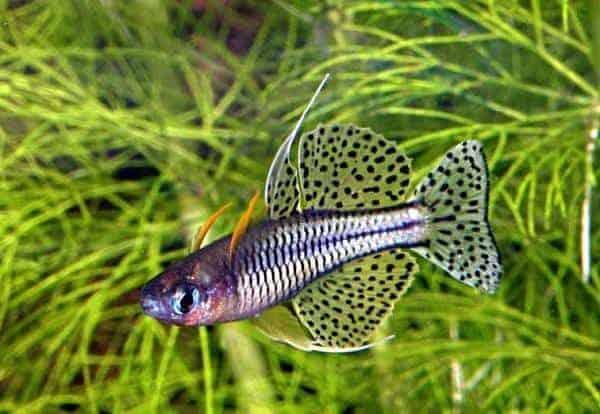 Pseudomugil gertrudae [Cadell River, Northern Territory] - Foto © Dave Wilson