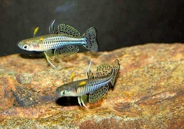 Pseudomugil gertrudae [Wenlock River, Queensland] - Foto © Leo O'Reilly