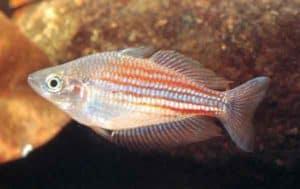 Melanotaenia utcheensis