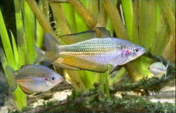 Melanotaenia duboulayi Kin Kin Creek Queensland