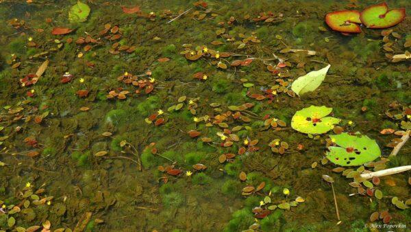 Cabomba aquatica met bloemen