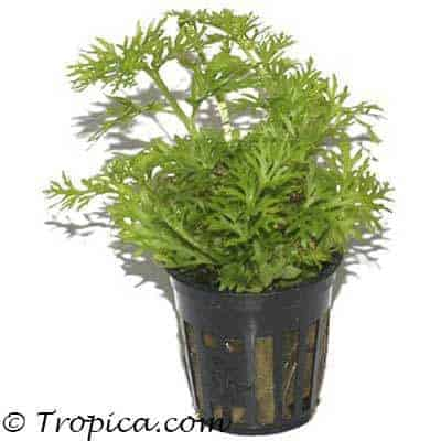 Ceratopteris thalictroides in pot