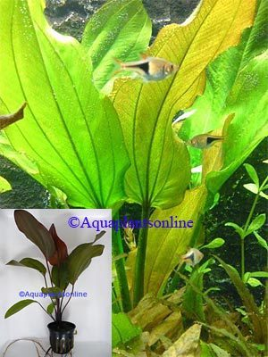Echinodorus altberger