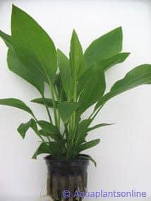Echinodorus argentinensus