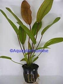 Echinodorus felix