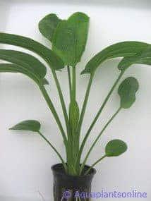 Echinodorus radicans
