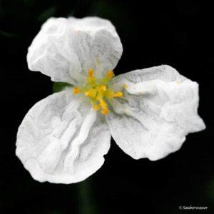 Egeria densa - bloem